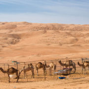 Camels-at-Wahiba-Sands