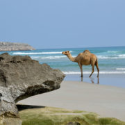 Camel-at-the-Beach