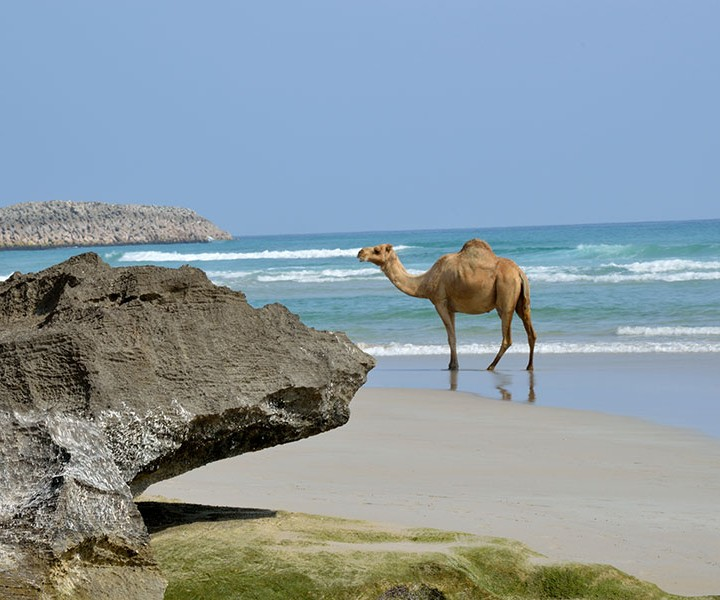 Camel-at-the-Beach-720x600