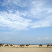 Camels-at-the-Beach