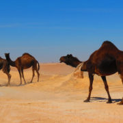 Camels-crossing-the-Empty-Quarters