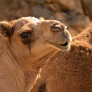 Camels-in-Dhofar
