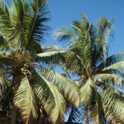 Coconut-palms_planatations-of-Salalah