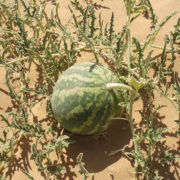 Colocynth-or-desert-gourd-in-Empty-Quarter