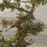 Frankincense-tree-in-a-Wadi_West-SLL