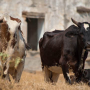 Free-grazing-cows_SLL-West
